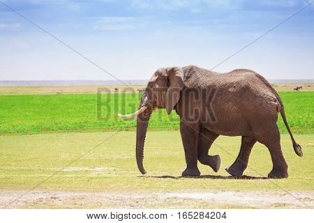 Adult male elephant walking at Kenyan savannah, Maasai Mara National Reserve, Africa