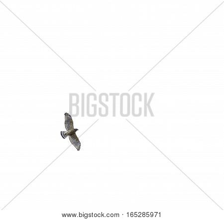 Red-shouldered Hawk soaring against a white sky