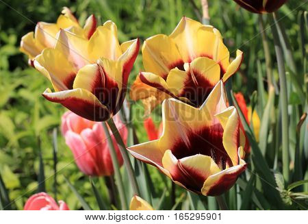 Many colorful tulips on the flower bed
