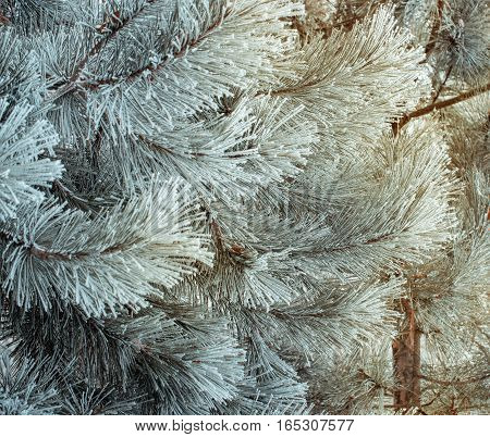 Winter natural background with pine branches in the frost. Layer of snow on branches of pine with hoar-frost. Christmas evergreen spruce tree with fresh snow. Fir-tree branches in snow for new year.