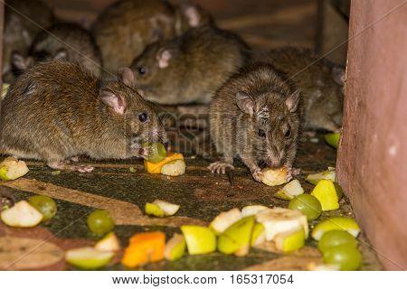 Feeding rats in Karni Mata temple in India