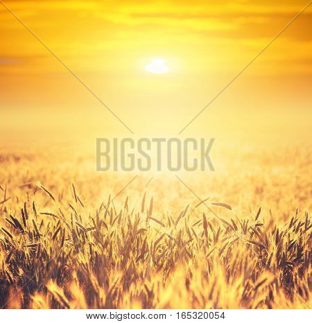 Field of ripe wheat on colorful sunset