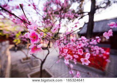 Sakura pink flower in chineese or japaneese garden.