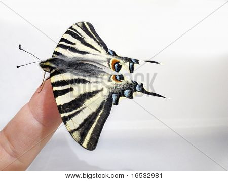 Butterfly Papilio Machaon On A Finger
