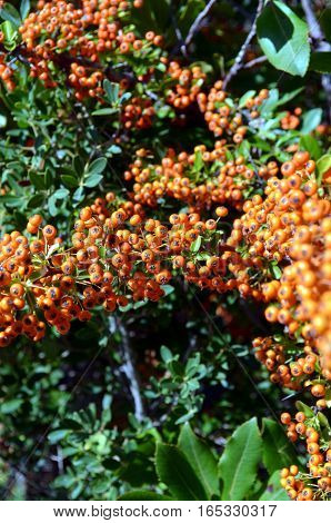 Orange Rowanberries of Common Sea buckthorn Hippophae rhamnoides
