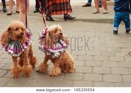 Two red trimmed cocker spaniel sitting on the sidewalk and looking in the direction of