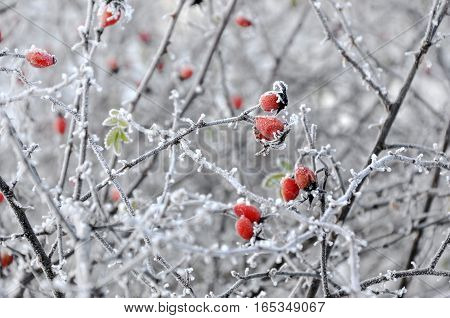 Branch of red rose hips covered with frost closeup in the winter selective focus.