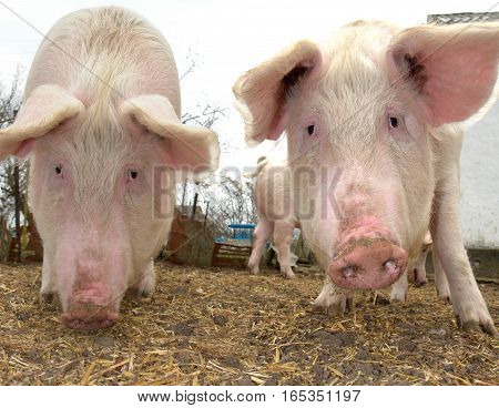 Two pigs on a farm  in the summer