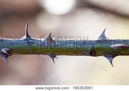 Macro view plant with thorns. Shallow depth of field, selective focus photo