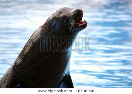 Photo of a screaming sea-lion with blurred blue water in the background.