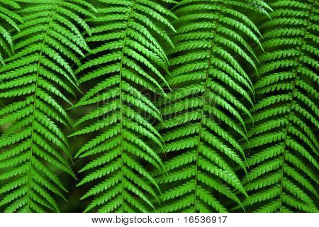 Close-up photo of four green fern fronds symmetrically aligned.