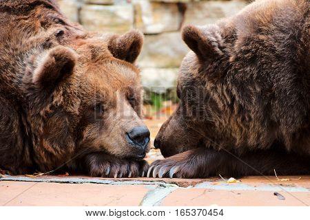 Two sleepy brown bears in a park