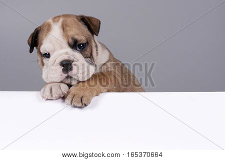 English Bulldog puppy with white banner for text