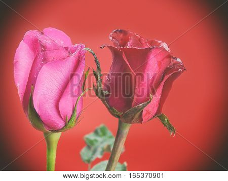 Roses on Valentine's Day Put on a red background. (Vintage)