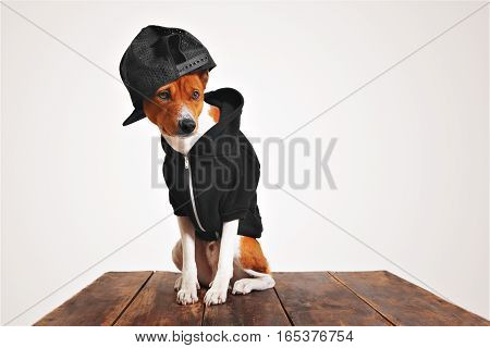 Street fashioned brown and white dog in cool black hoodie and trucker cap with mesh back on a rustic wooden table against white background