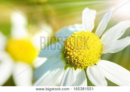 Camomile flower in the radiant spring sun