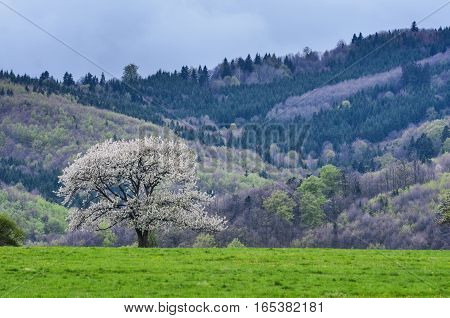 Beautiful spring scenery. White flowers cherry trees on nice meadow full of green grass. Blue sky and majesty forest in background. Wallpaper with space for you montage.