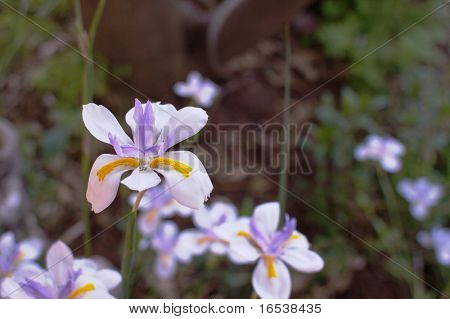 a closeup of a single white purple and yellow iris with a soft focus background of other flowers and leaves