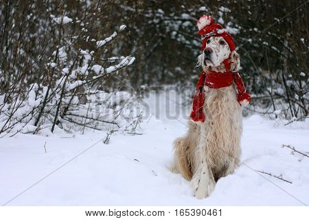 White big dog of hunting breed English Setter with brown spots and lond hair sitting on the white snow and frost, wearing fashionable red warm hat and scarf on new year and christmas background