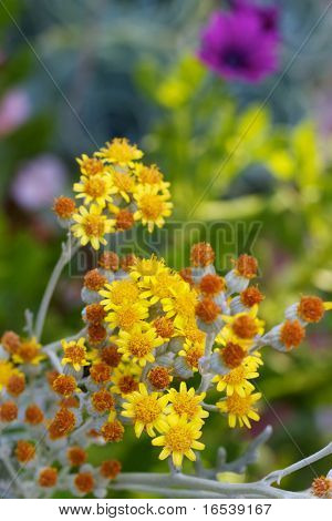 Small yellow and gold magaritas flowers with soft focus background