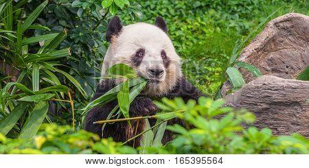 Young panda bear, chewing juicy bamboo rastirelnost.