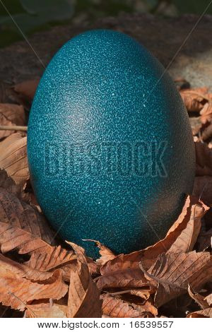 Single Blue Ostrich or Emu egg sitting on a pile of autumn leaves