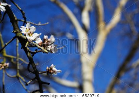First early almond tree flower bloom of spring