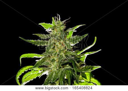 Big main top bud of mature female cannabis plant on black background with back light.