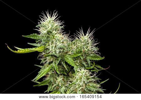 Big main top bud of mature female cannabis plant on black background.