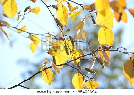 Bright autumn leaves of Birch under sunlight. Fall seasonal background
