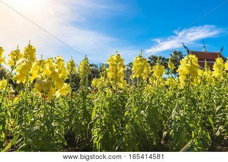 Fabulous beautiful yellow rape flowers on a background of blue sky vintage style.