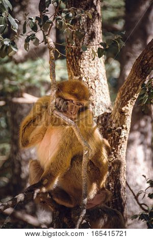 Wildlife shot of a barbary macaque monkey sitting in a tree in the National Park of Ifrane, Morocco.