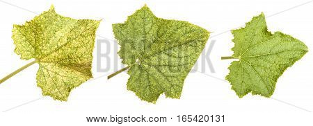 Green Leaves Of Cucumber Isolated On White Background