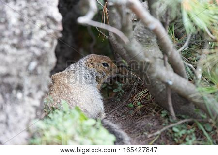Arctic ground squirrel eating something in his hole