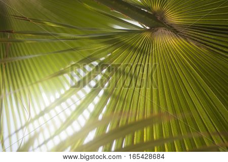 Sun shining through palm tree leaves. Copy space.