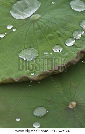 Die Seerose in einem Teich und des Gartens in Peking.