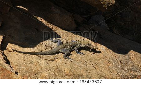 Lizard carring a baby in her mouth. Photographed in the Annapurna Conservation Area Nepal.