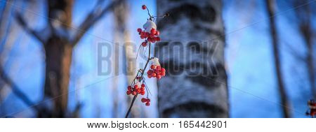 Frozen rowan berries in the sun in the winter forest