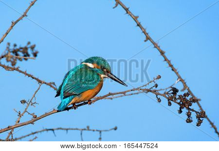 kingfisher sitting on a branch. Piedmont, Italy