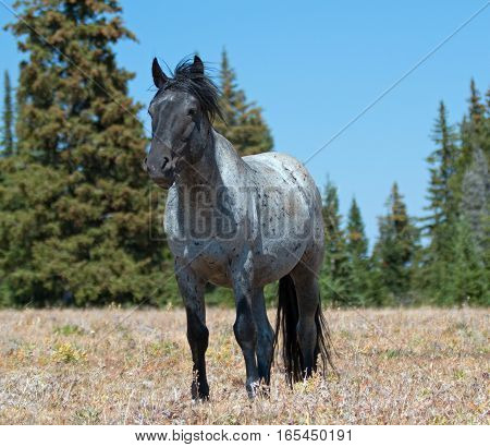Wild Horse Blue Roan Colored Band Stallion In The Pryor Mountains Wild Horse Range In Montana – Wyom