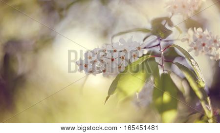 Branch of the blossoming bird cherry in the spring.