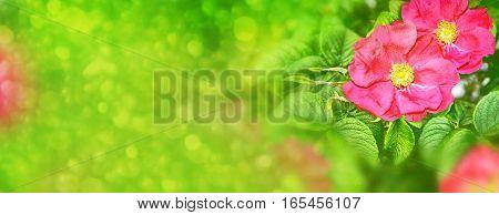 Summer landscape. Delicate wild rose garden flowers