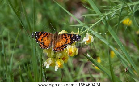 A butterfly seen on a forest meadow.