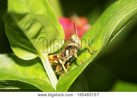 Small brown shiny grasshopper on a yellow green leaf
