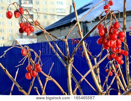 Viburnum in snow. Frozen red berries on a branch in the garden sheltered snow