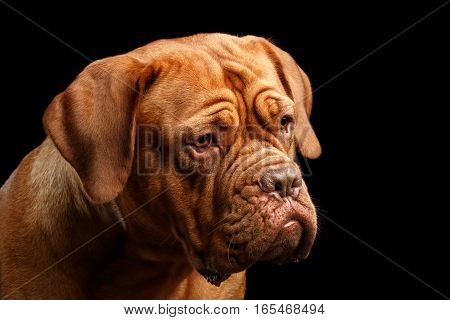 Close-up Portrait dog of breed Dogue de Bordeaux with serious face isolated on black background, front view