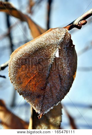 Ice crystal covered dry leaf with sunshine. Dead leaves in the snow against the rising sun. a gentle winter morning