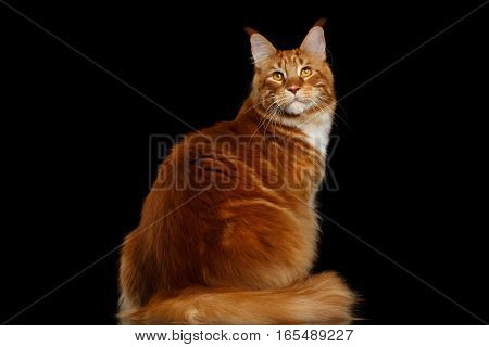 Amazing Tabby Ginger Maine Coon Cat Sitting with Furry Tail and turn back Isolated on Black Background, side view