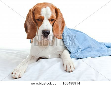 sick dog under a blue blanket isolated on a white background.