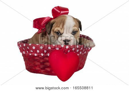 Cute English bulldog puppy with heart isolated on a white background